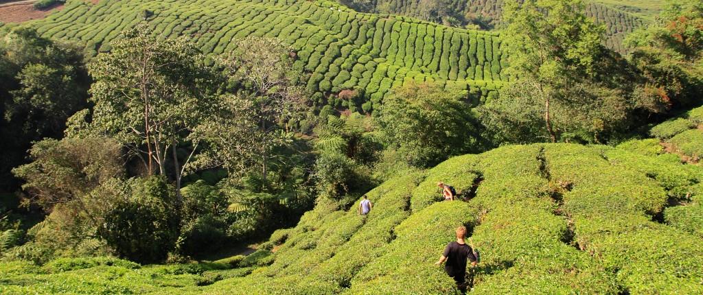 pessoas perdidas em uma plantação de chá
